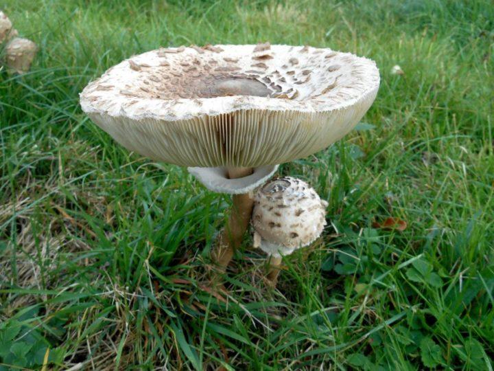champignon coulemelle