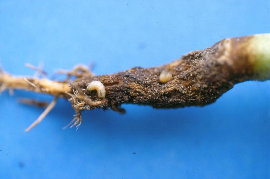 larve de la mouche du chou
