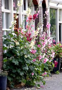 roses tremieres dans un jardin