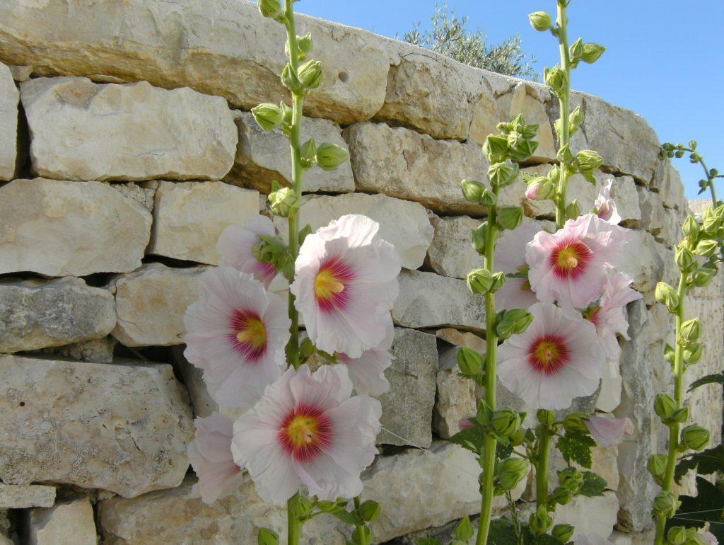 Planter des roses trémières au pied d'un mur