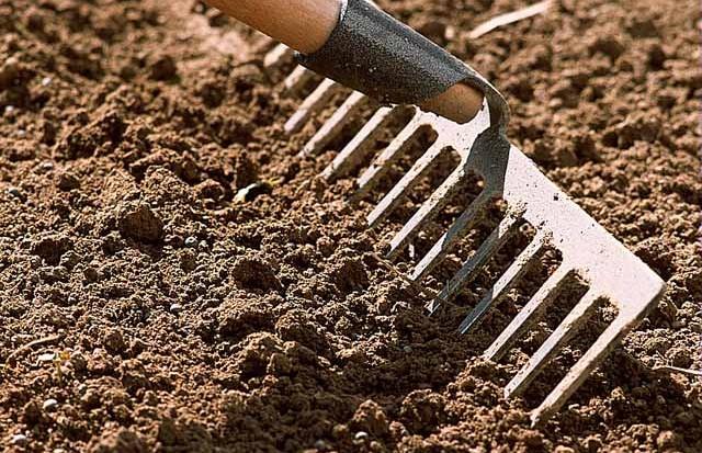 préparer le sol pour semer des roses trémières