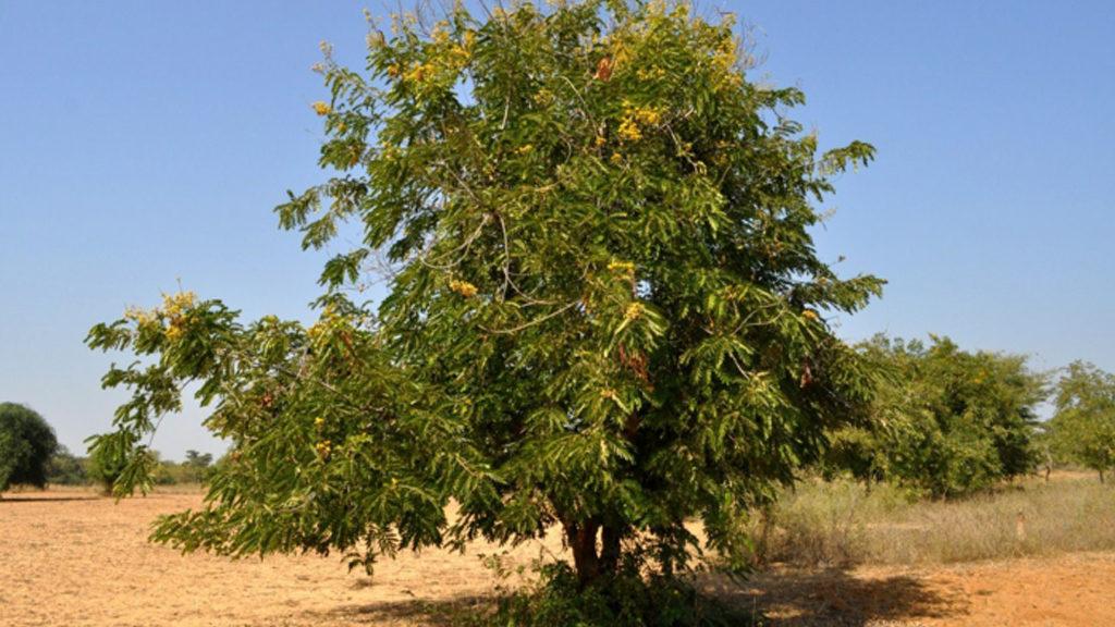 Le jujubier: l'arbre qui résiste à tout ! (ou presque)