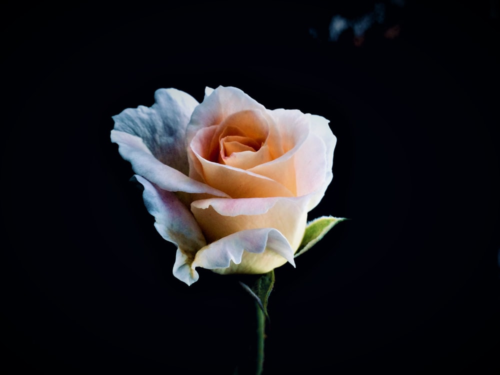 La rose éternelle : une fleur à l'épreuve du temps