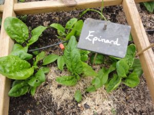 Epinards